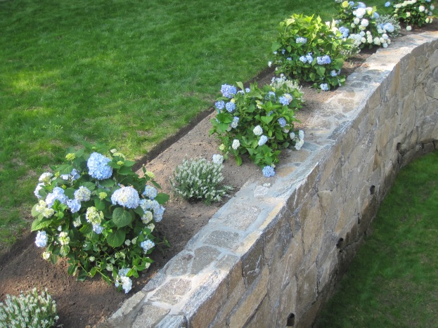 Hydrangea plantings
